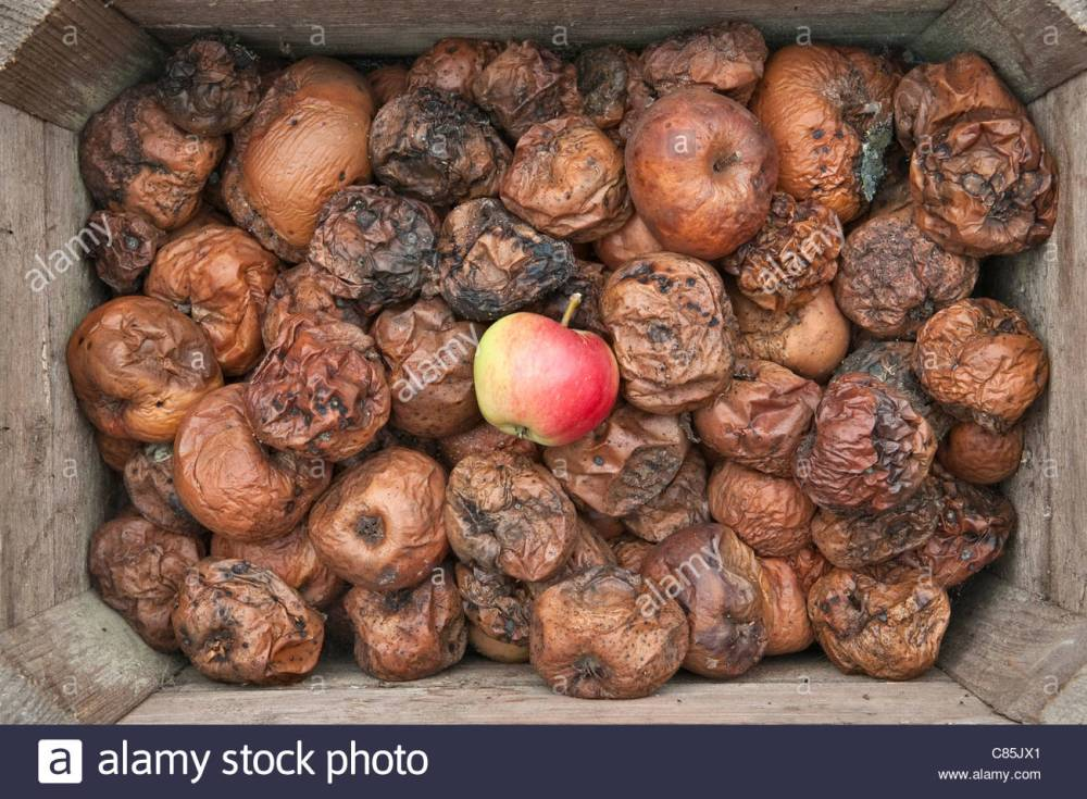 one-good-apple-stands-out-in-a-box-full-of-rotten-apples-C85JX1